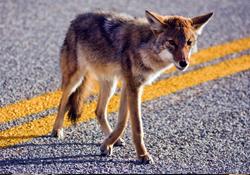 Coyotes in the Neighborhood