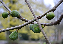 Fig Trees, Care and Maintenance