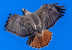 Virtual Wild Animal Experts: Red-Tailed Hawk